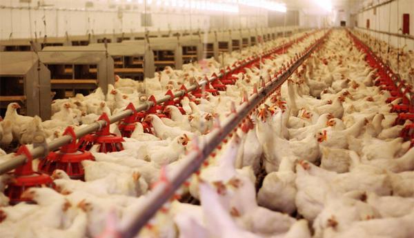 دریافت تسهیلات مرغداری ها از بانک کشاورزی به نتیجه نرسید